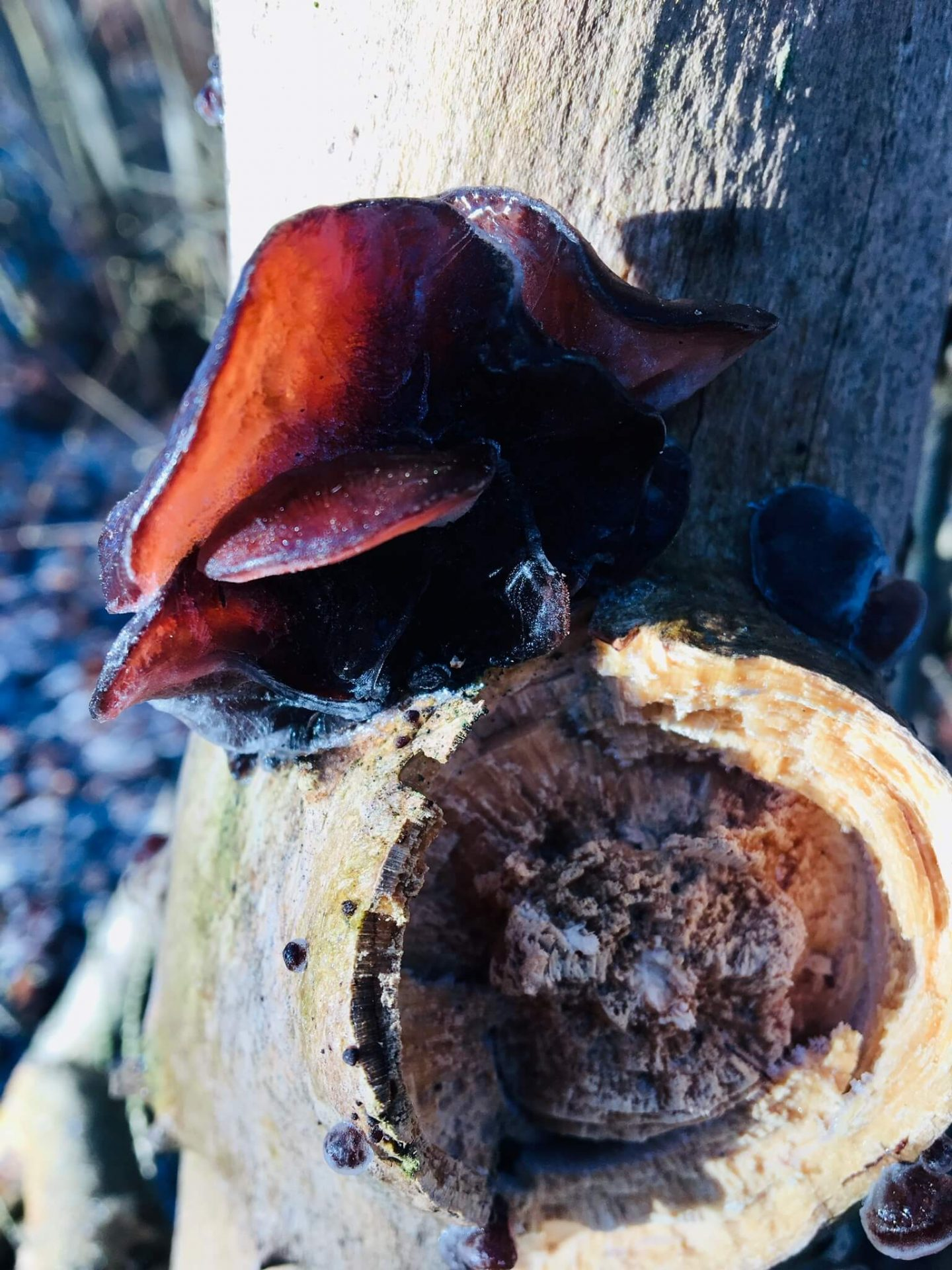 Træstamme med frostkrystaller og  rødbrun svamp, der vokser på det.