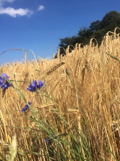 Synkronicitet er helt naturligt. Og derfor et billede af en gylden kornmark med blå kornblomster i forgrunden og træer bag marken.