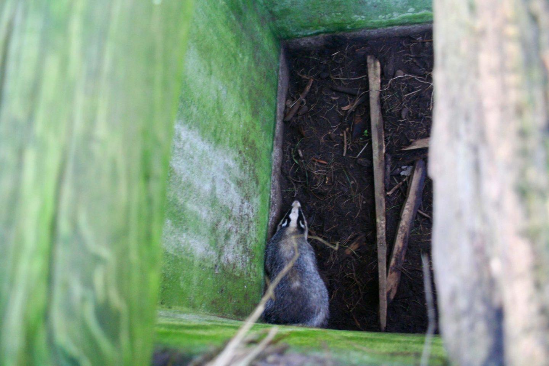 Lær dyrenes symbolik at kende. En grævling i et dybt hul.