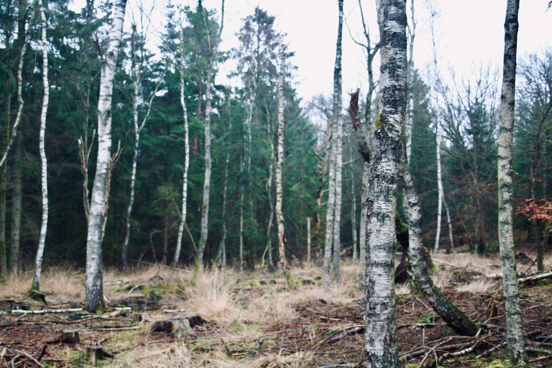 En birkeskov ved Thorsager